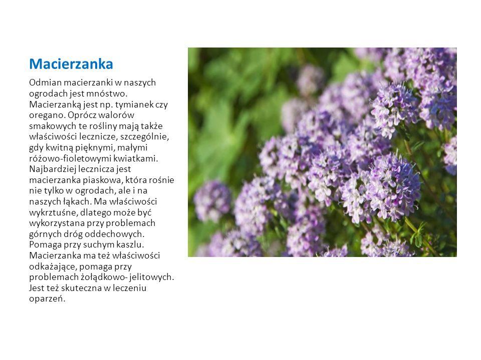 Macierzanka
