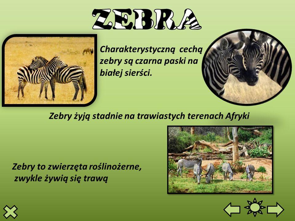 ZEBRA Charakterystyczną cechą zebry są czarna paski na białej sierści.