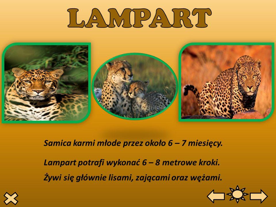 LAMPART Samica karmi młode przez około 6 – 7 miesięcy.