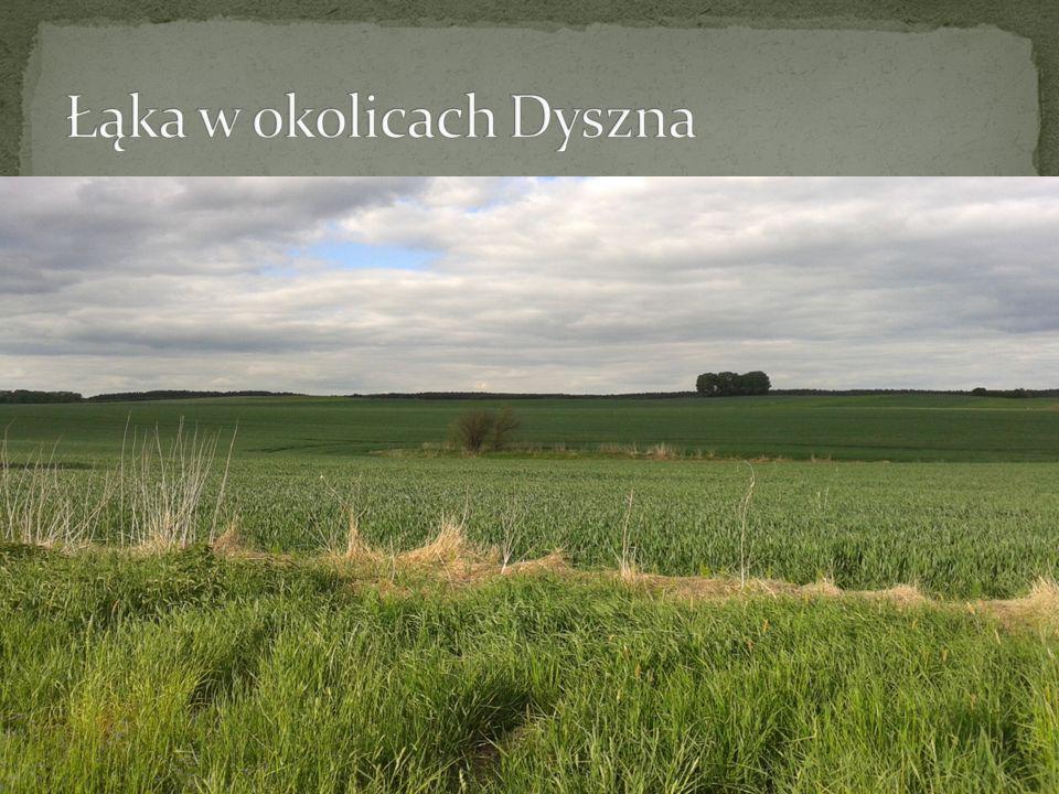 Łąka w okolicach Dyszna