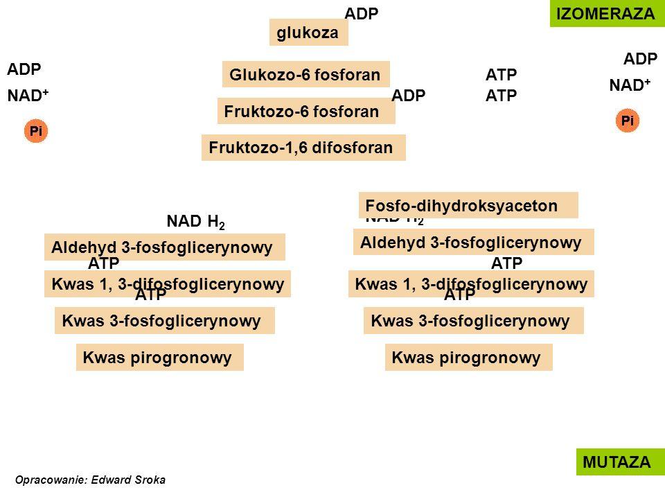 Fosfo-dihydroksyaceton NAD H2 NAD H2 Aldehyd 3-fosfoglicerynowy