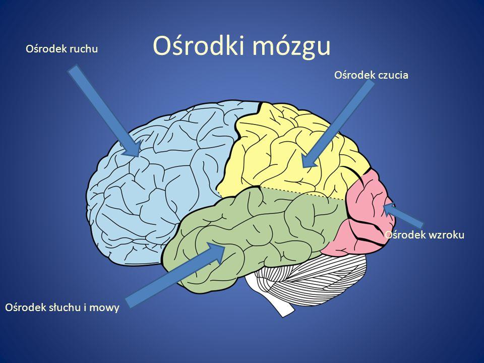 Ośrodki mózgu Ośrodek ruchu Ośrodek czucia Ośrodek wzroku