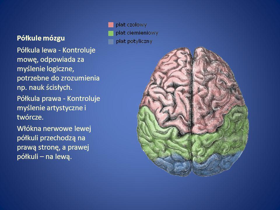 Półkule mózgu Półkula lewa - Kontroluje mowę, odpowiada za myślenie logiczne, potrzebne do zrozumienia np. nauk ścisłych.