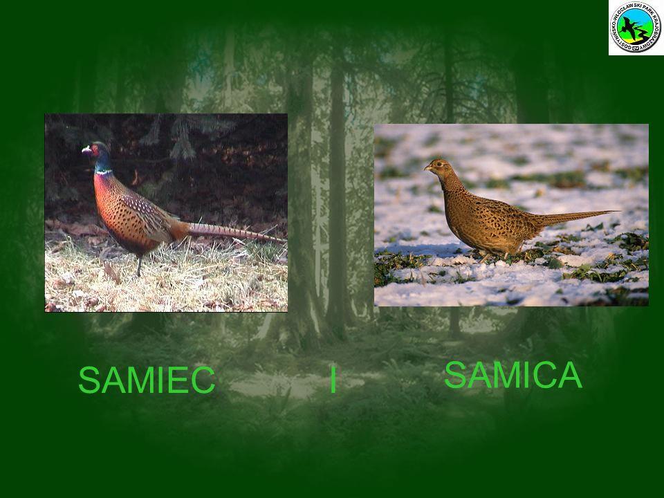 SAMICA SAMIEC I