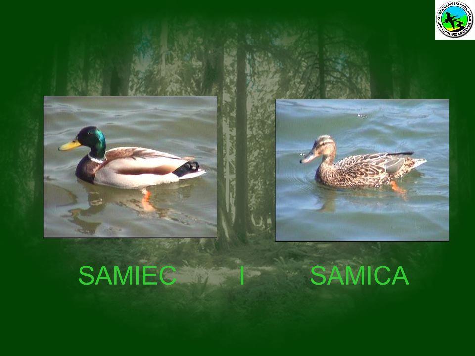 SAMIEC I SAMICA