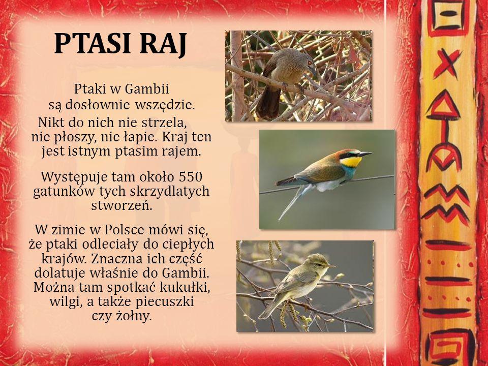 PTASI RAJ Ptaki w Gambii są dosłownie wszędzie.