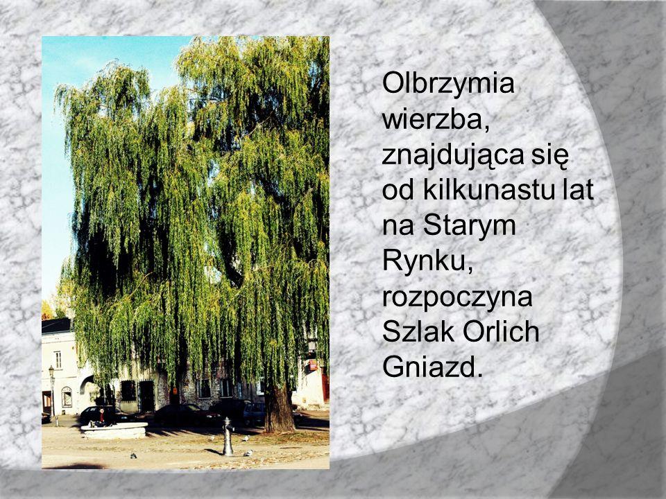 Olbrzymia wierzba, znajdująca się od kilkunastu lat na Starym Rynku, rozpoczyna Szlak Orlich Gniazd.