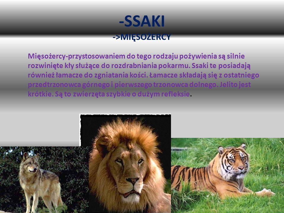 -SSAKI ->MIĘSOŻERCY