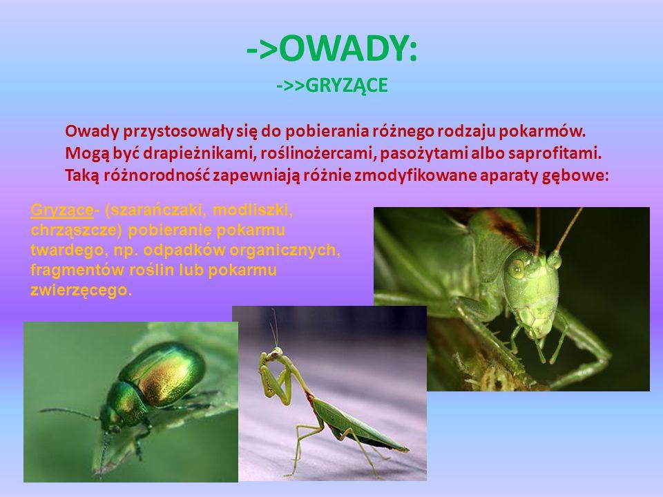 ->OWADY: ->>GRYZĄCE