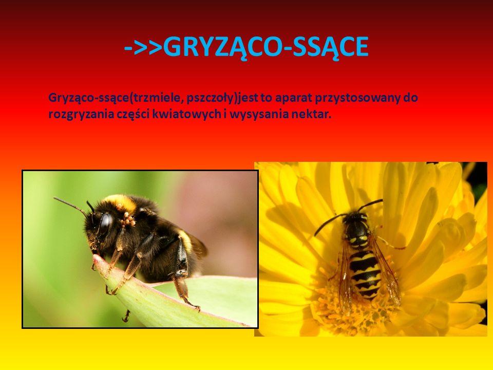 ->>GRYZĄCO-SSĄCE