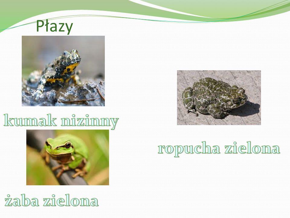Płazy kumak nizinny ropucha zielona żaba zielona