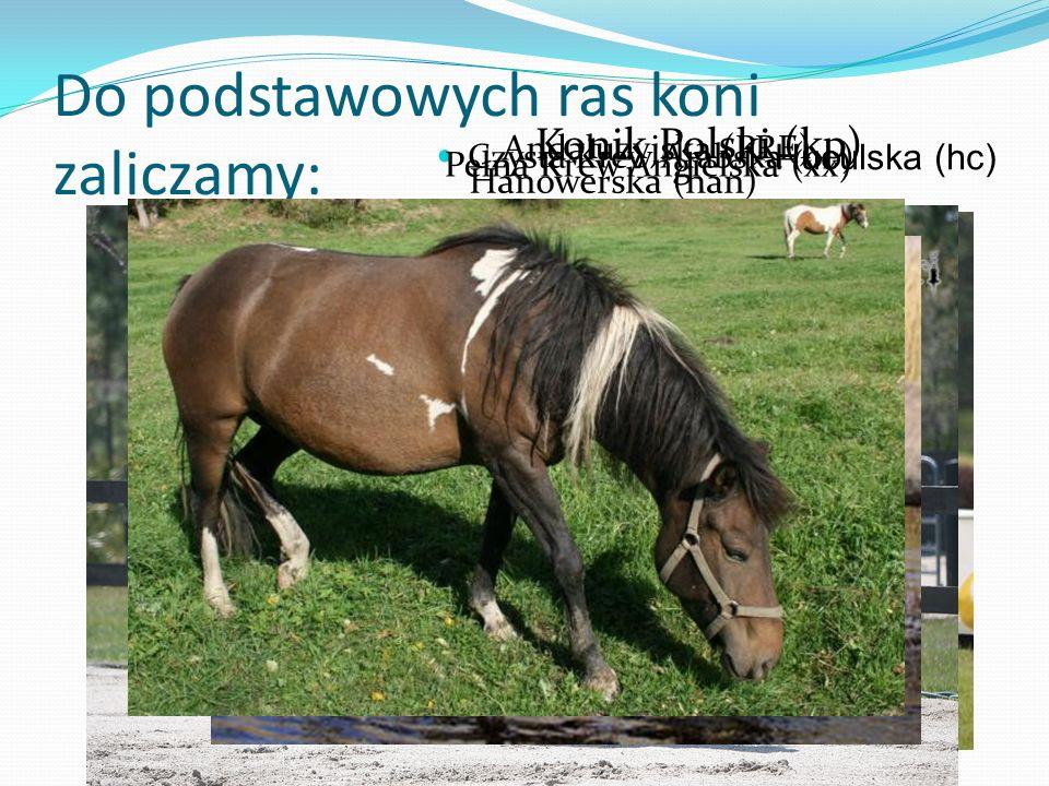 Do podstawowych ras koni zaliczamy:
