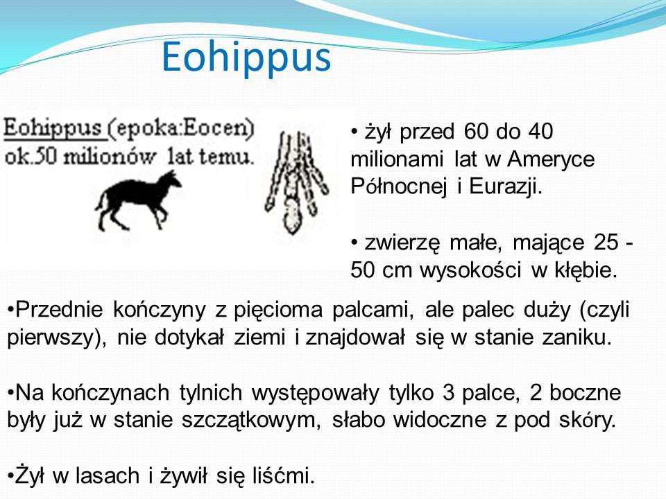 Eohippus żył przed 60 do 40 milionami lat w Ameryce Północnej i Eurazji. zwierzę małe, mające 25 - 50 cm wysokości w kłębie.
