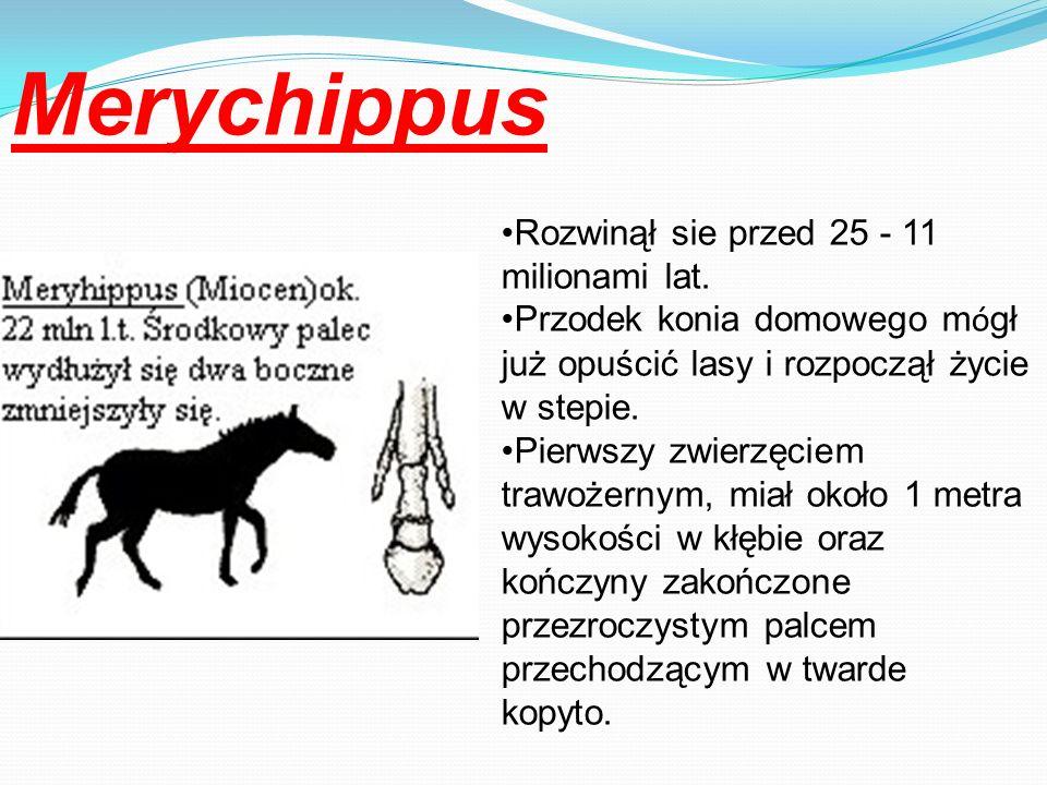 Merychippus Rozwinął sie przed 25 - 11 milionami lat.