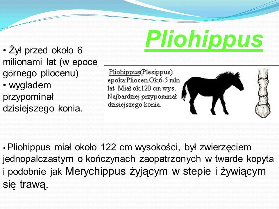 Pliohippus Żył przed około 6 milionami lat (w epoce górnego pliocenu)