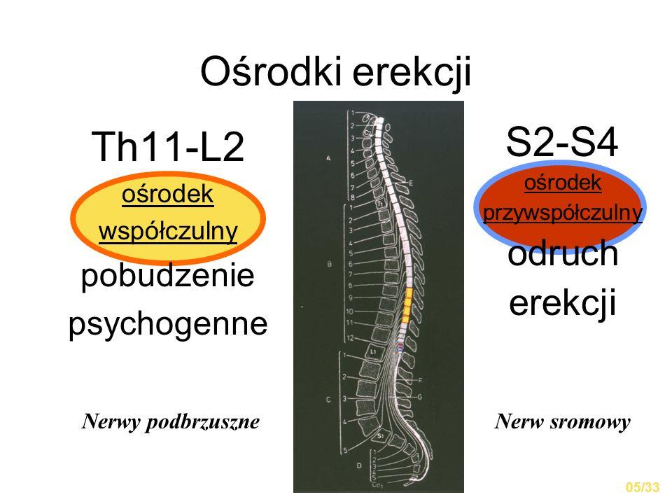Ośrodki erekcji Th11-L2 S2-S4 odruch erekcji pobudzenie psychogenne