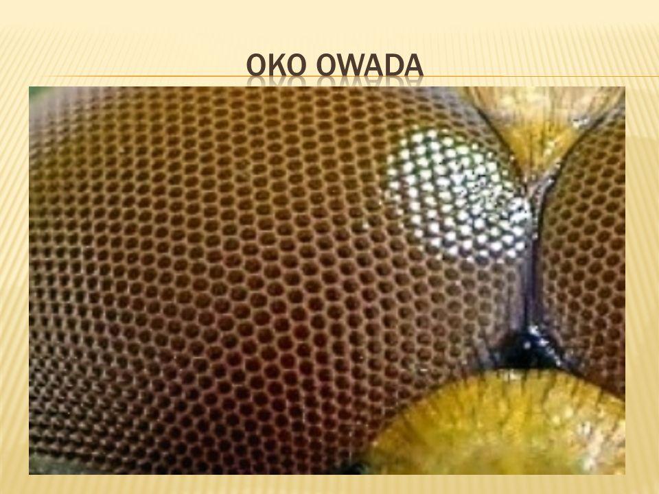 Oko owada