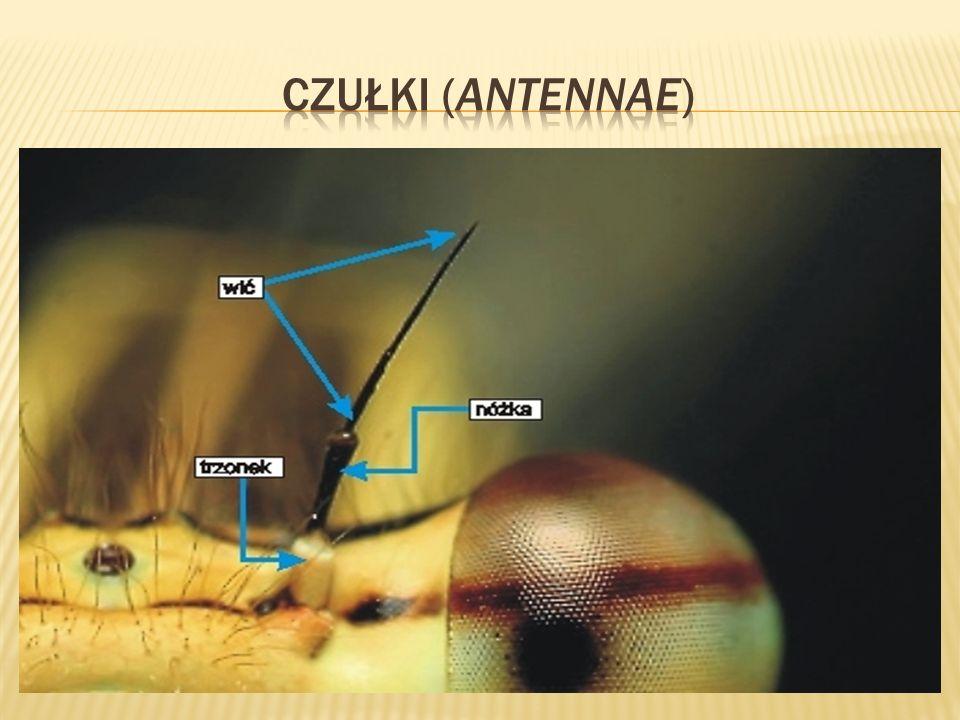 Czułki (antennae)