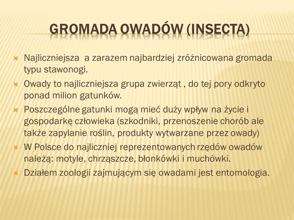 Gromada owadów (Insecta)