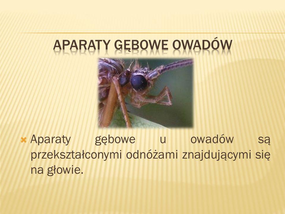 Aparaty gębowe owadów Aparaty gębowe u owadów są przekształconymi odnóżami znajdującymi się na głowie.