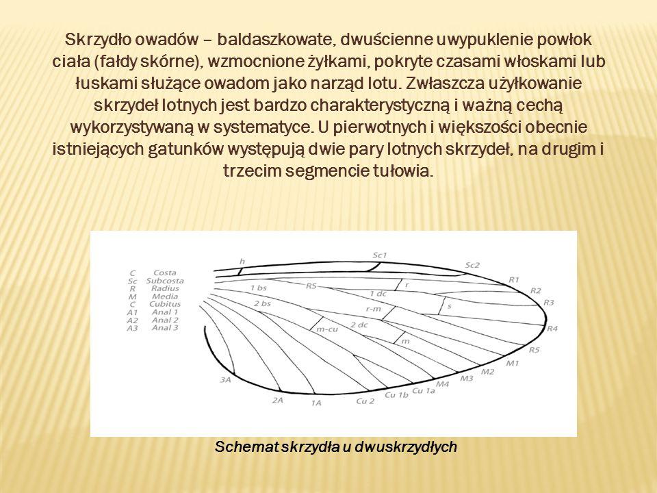 Schemat skrzydła u dwuskrzydłych