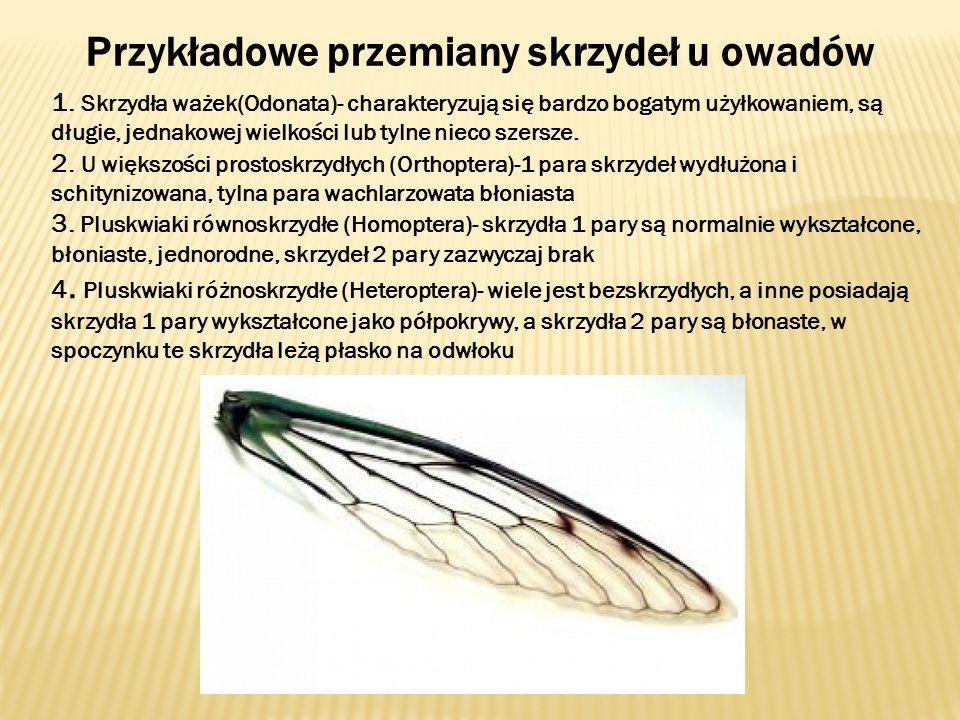 Przykładowe przemiany skrzydeł u owadów