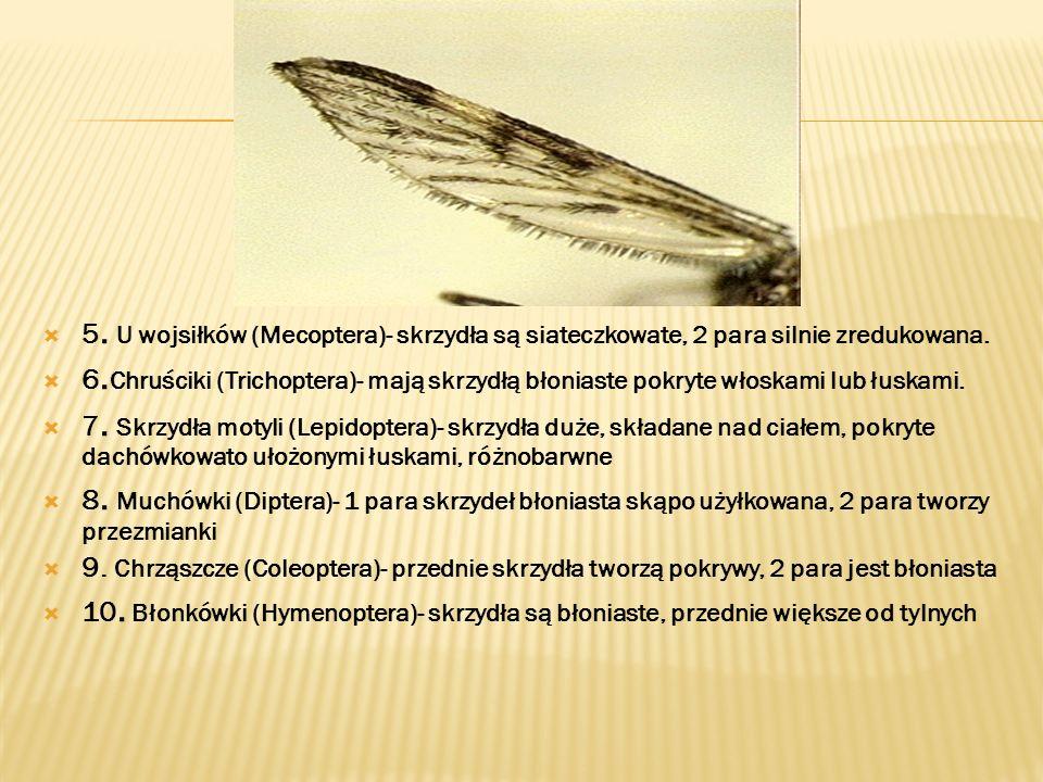 5. U wojsiłków (Mecoptera)- skrzydła są siateczkowate, 2 para silnie zredukowana.
