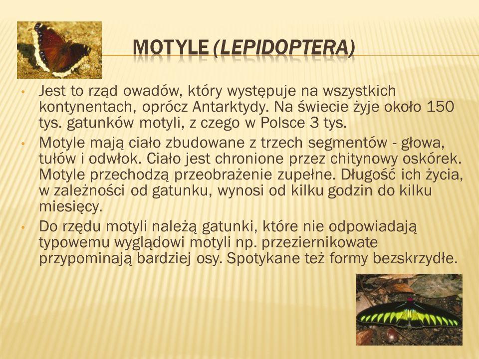 Motyle (Lepidoptera)