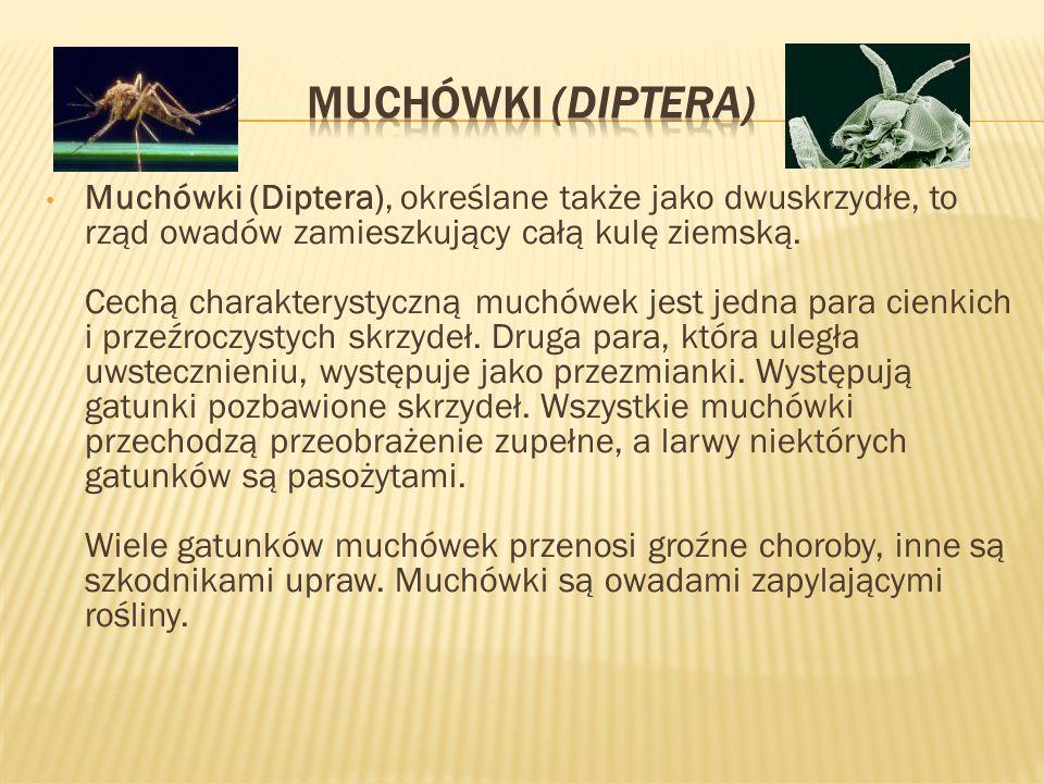 Muchówki (Diptera)