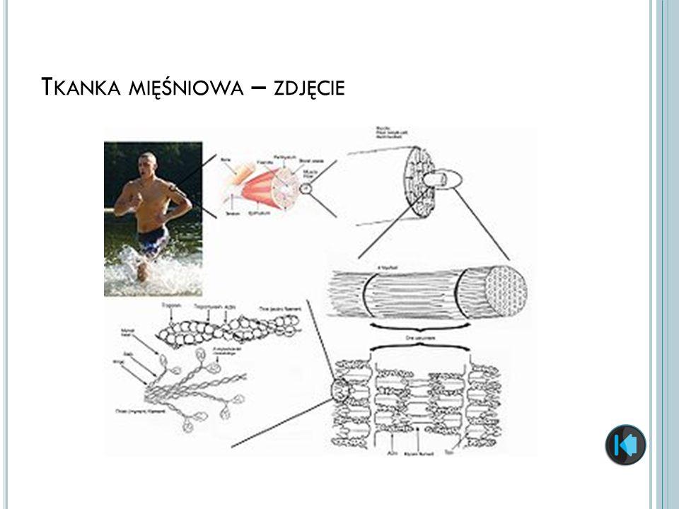 Tkanka mięśniowa – zdjęcie
