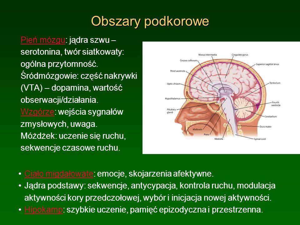 Obszary podkorowe Pień mózgu: jądra szwu – serotonina, twór siatkowaty: ogólna przytomność.