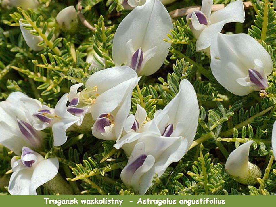 Traganek waskolistny - Astragalus angustifolius