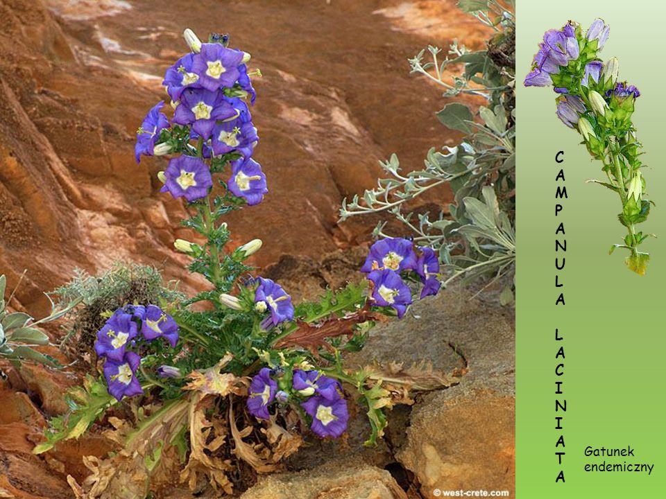 C A M P N U L I T Gatunek endemiczny