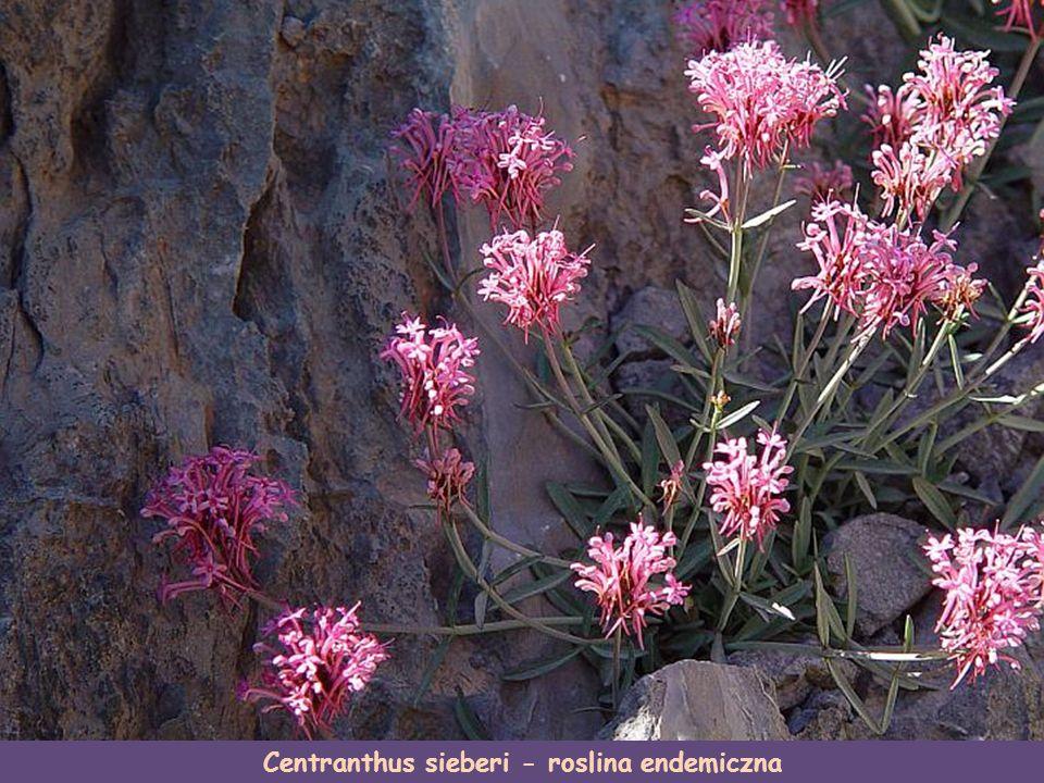 Centranthus sieberi - roslina endemiczna