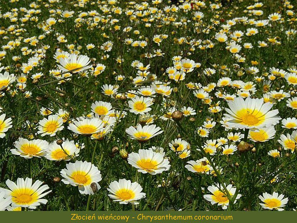 Złocień wieńcowy - Chrysanthemum coronarium