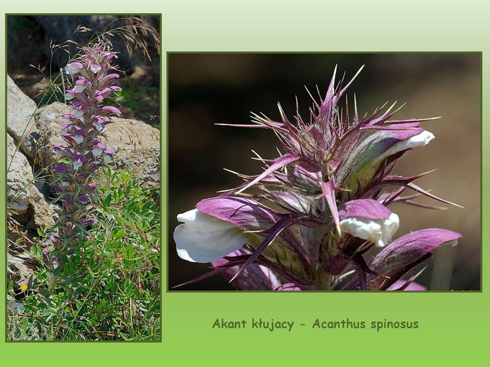 Akant kłujacy - Acanthus spinosus