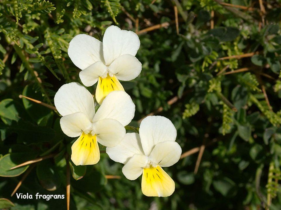 Viola fragrans