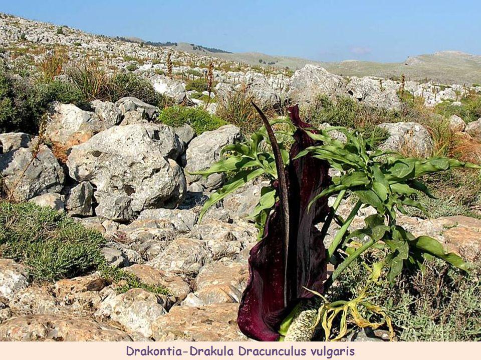 Drakontia-Drakula Dracunculus vulgaris