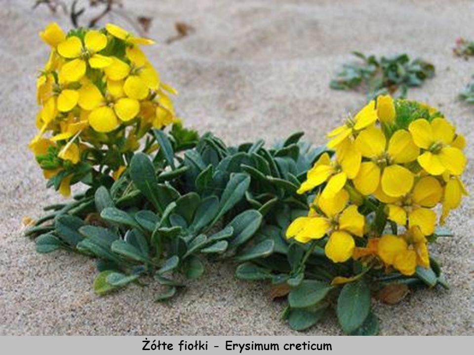 Żółte fiołki - Erysimum creticum