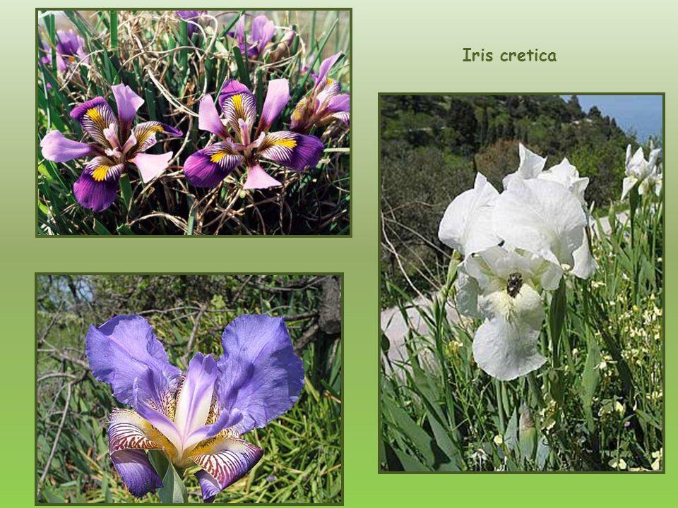 Iris cretica