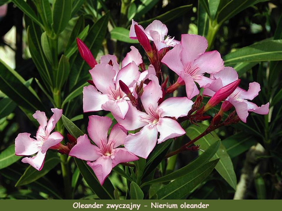 Oleander zwyczajny - Nierium oleander