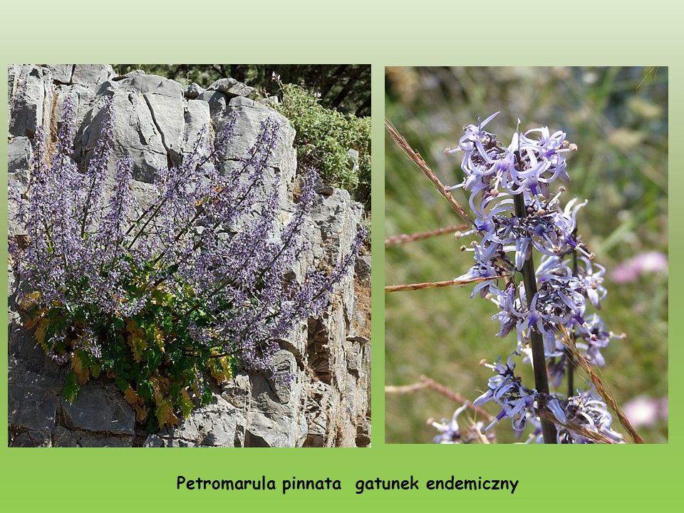Petromarula pinnata gatunek endemiczny