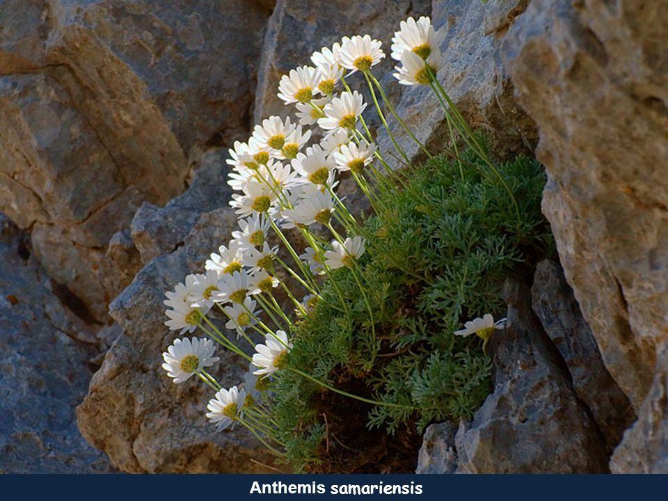 Anthemis samariensis
