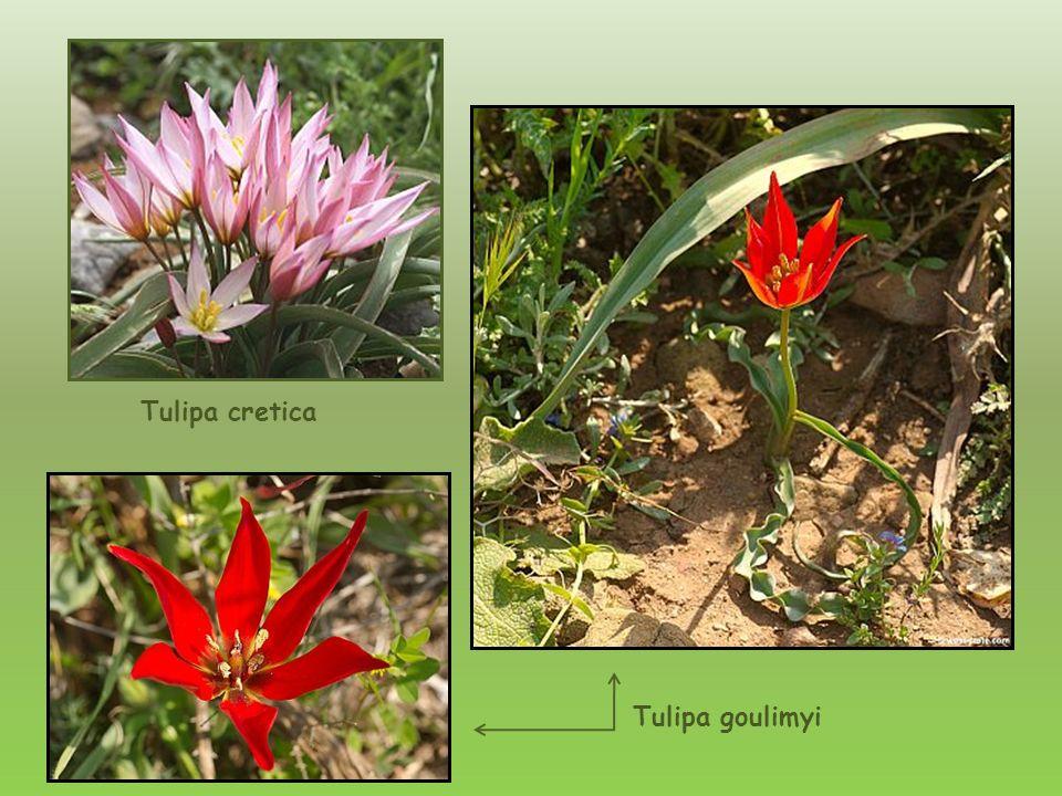 Tulipa cretica Tulipa goulimyi