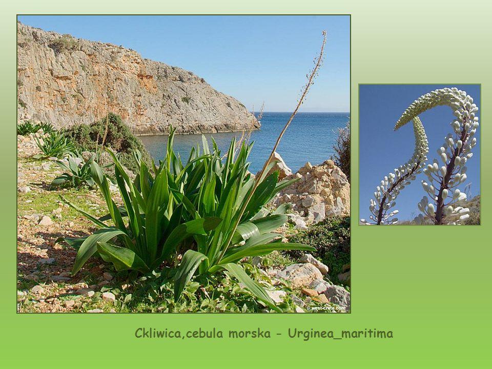 Ckliwica,cebula morska - Urginea_maritima
