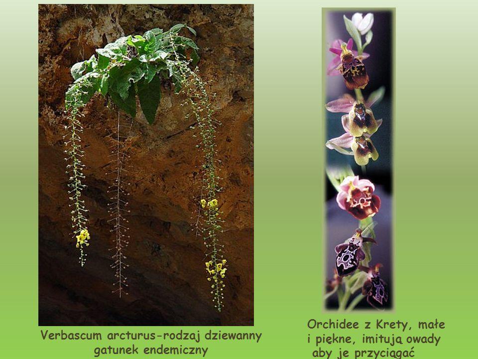 Verbascum arcturus-rodzaj dziewanny gatunek endemiczny