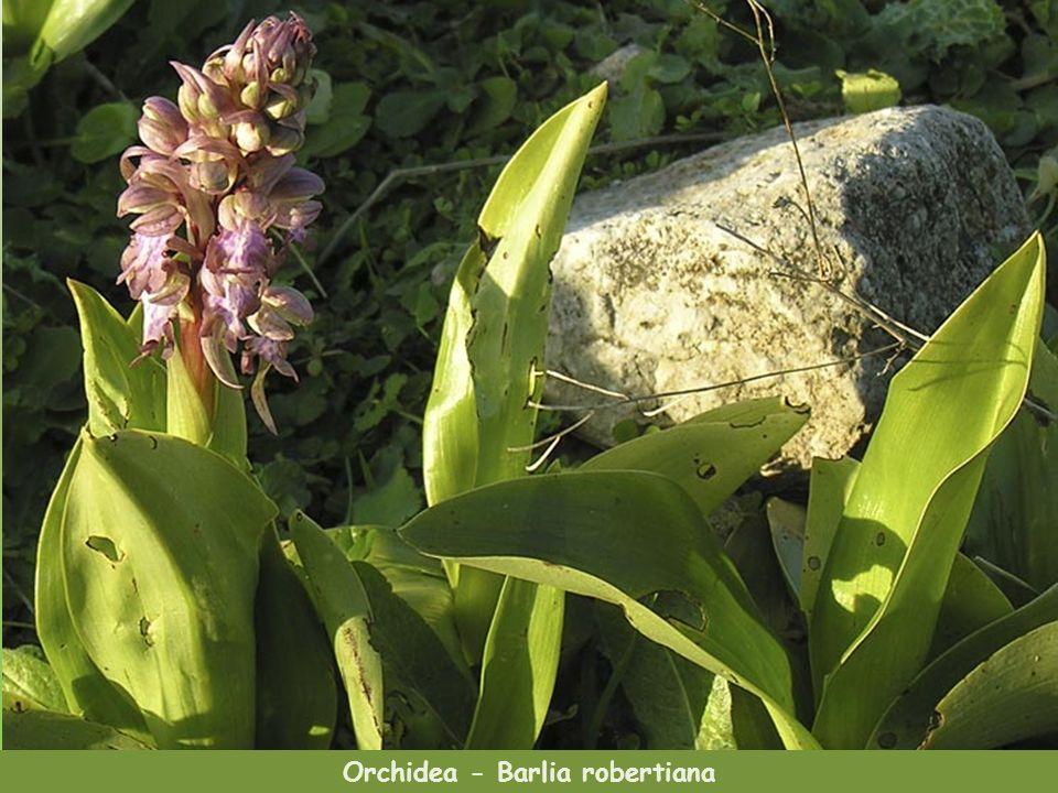 Orchidea - Barlia robertiana