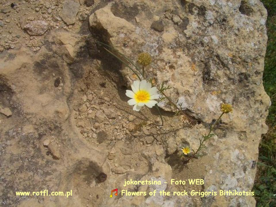 jokoretsina - Foto WEB www.rotfl.com.pl Flowers of the rock Grigoris Bithikotsis