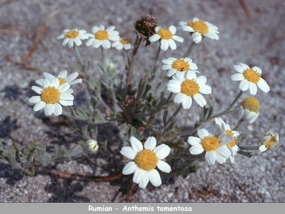 Rumian - Anthemis tomentosa
