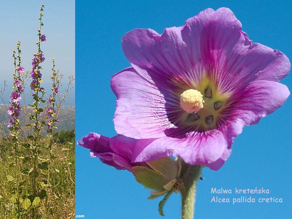 Malwa kreteńska Alcea pallida cretica